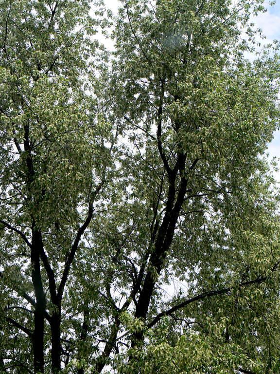 (MPOV) Black Locust: the Sustainable Hardwood of ourFuture?
